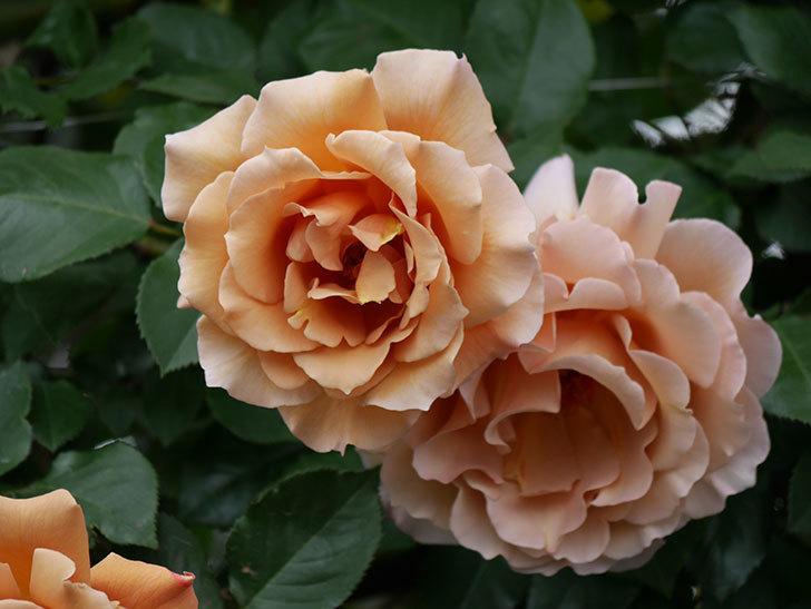 つるジュリア(ツルバラ)の花が増えて来た。2019年-19.jpg
