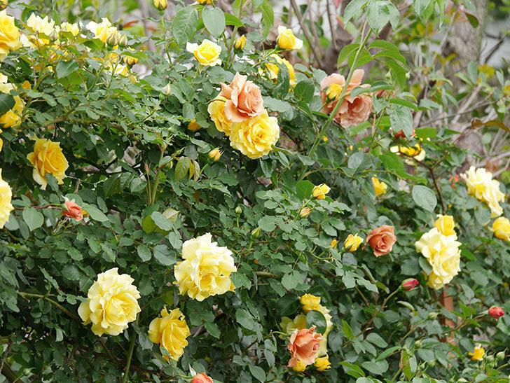 つるジュリア(ツルバラ)の花が増えて来た。2019年-2.jpg