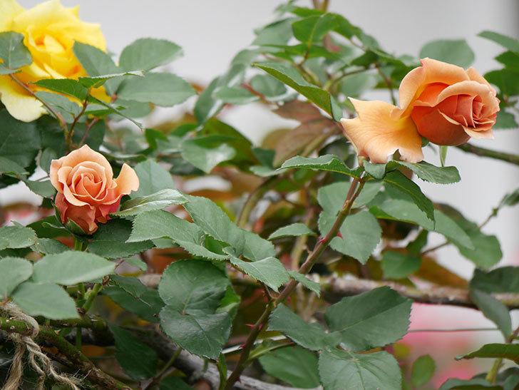 つるジュリア(ツルバラ)の花が増えて来た。2019年-20.jpg