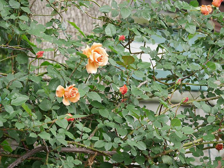 つるジュリア(ツルバラ)の花が増えて来た。2019年-21.jpg