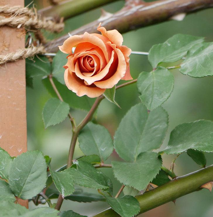 つるジュリア(ツルバラ)の花が増えて来た。2019年-22.jpg