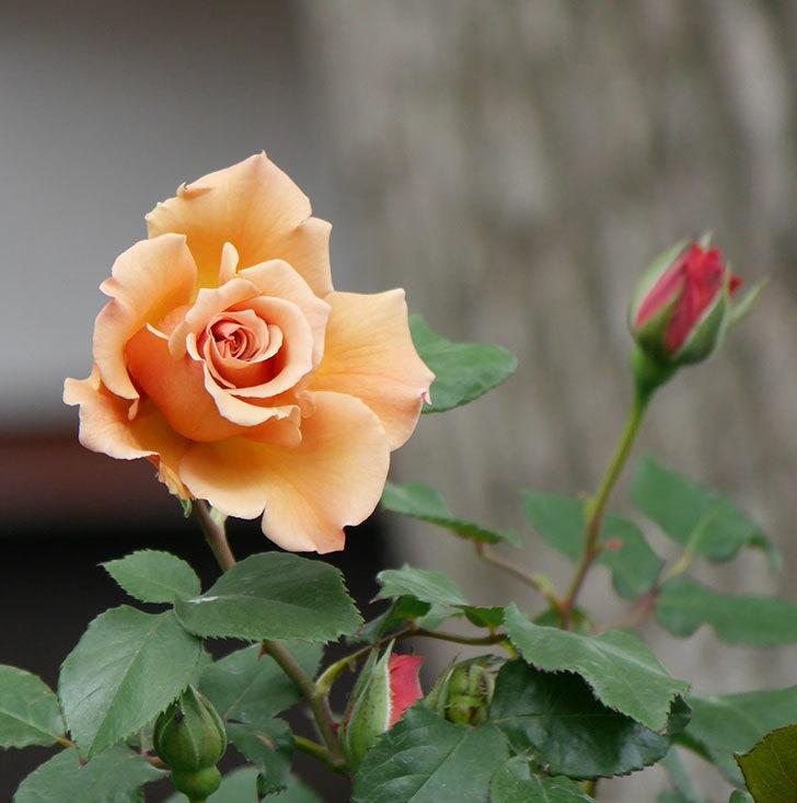 つるジュリア(ツルバラ)の花が増えて来た。2019年-24.jpg
