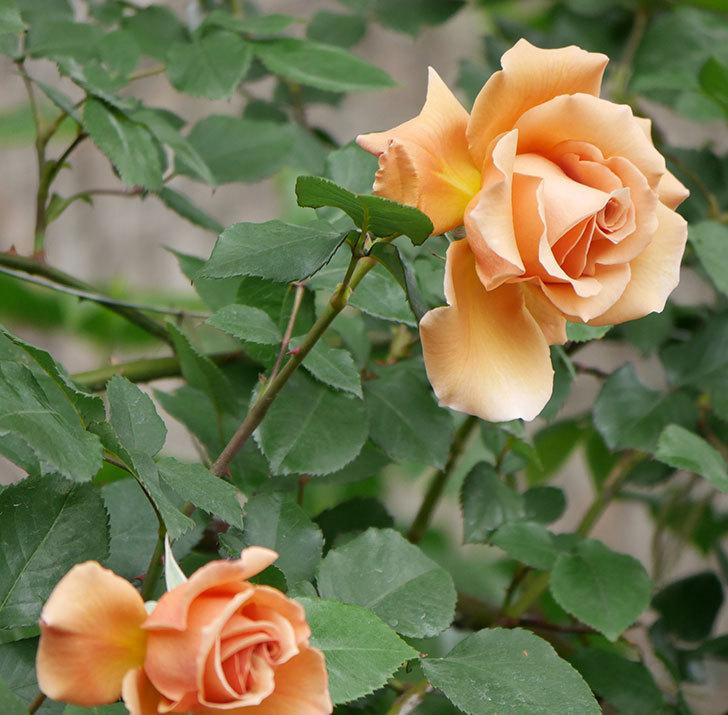 つるジュリア(ツルバラ)の花が増えて来た。2019年-26.jpg