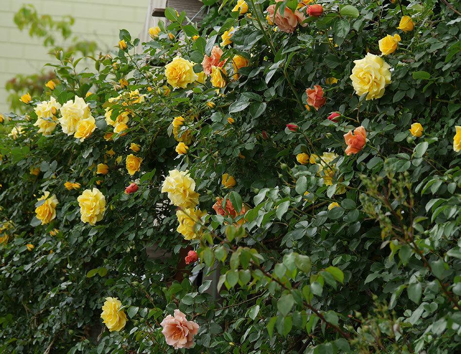 つるジュリア(ツルバラ)の花が増えて来た。2019年-27.jpg