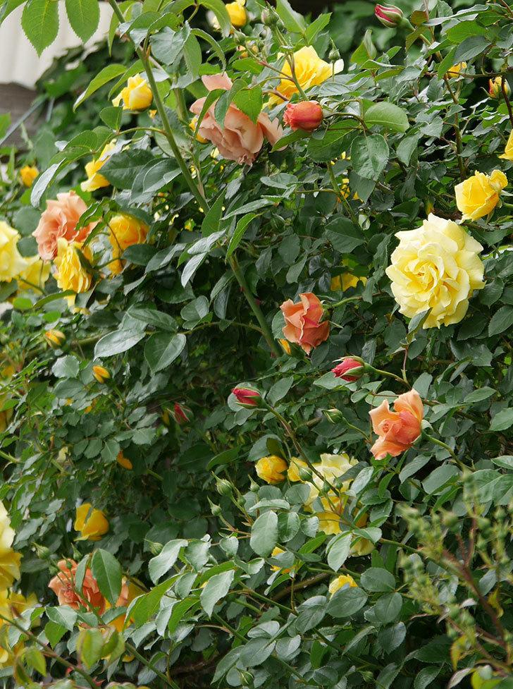 つるジュリア(ツルバラ)の花が増えて来た。2019年-28.jpg