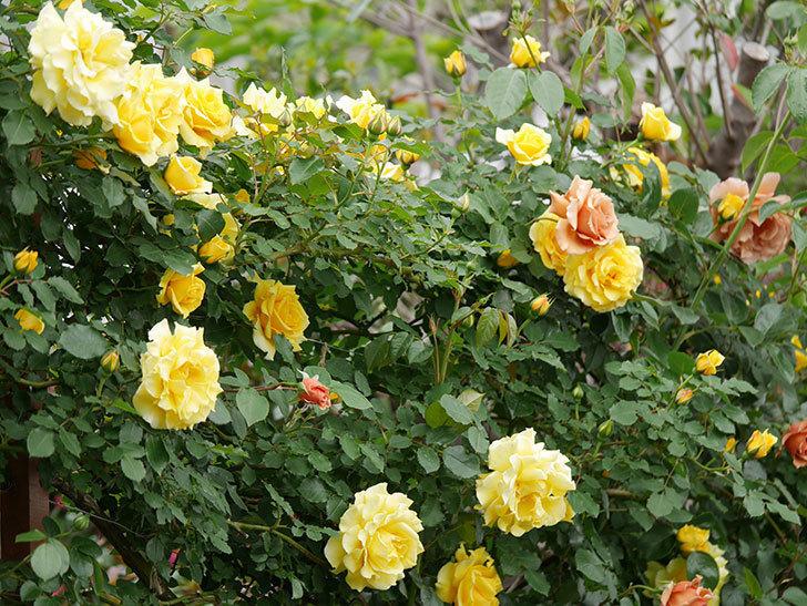つるジュリア(ツルバラ)の花が増えて来た。2019年-3.jpg
