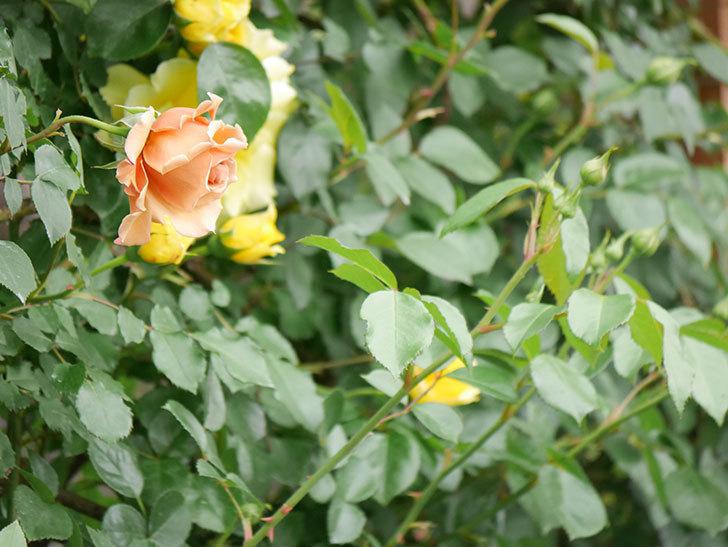 つるジュリア(ツルバラ)の花が増えて来た。2019年-4.jpg