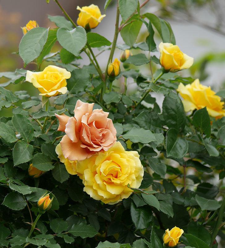 つるジュリア(ツルバラ)の花が増えて来た。2019年-5.jpg