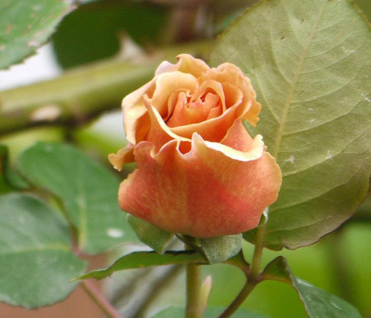 つるジュリア(ツルバラ)の花が少し咲いた。2018年-2.jpg