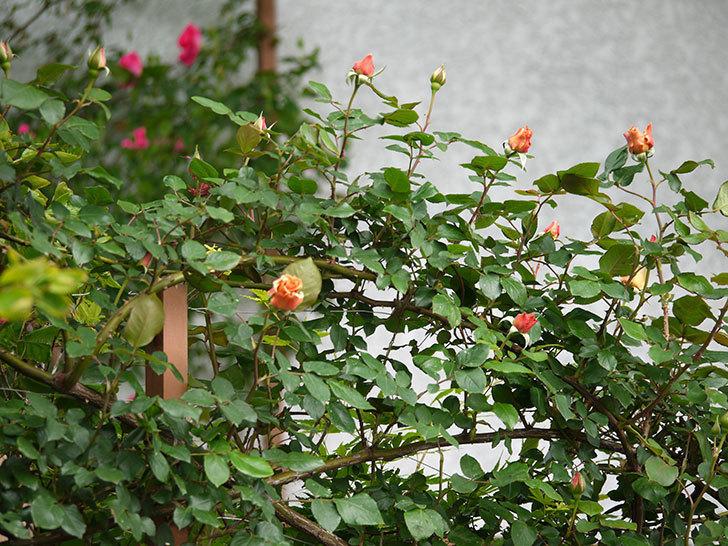 つるジュリア(ツルバラ)の花が少し咲いた。2018年-3.jpg