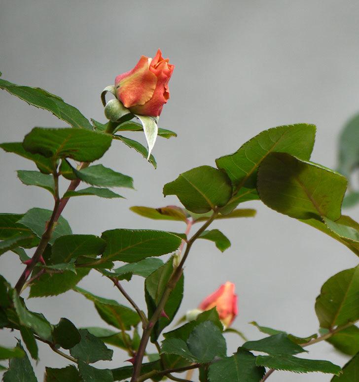 つるジュリア(ツルバラ)の花が少し咲いた。2018年-4.jpg