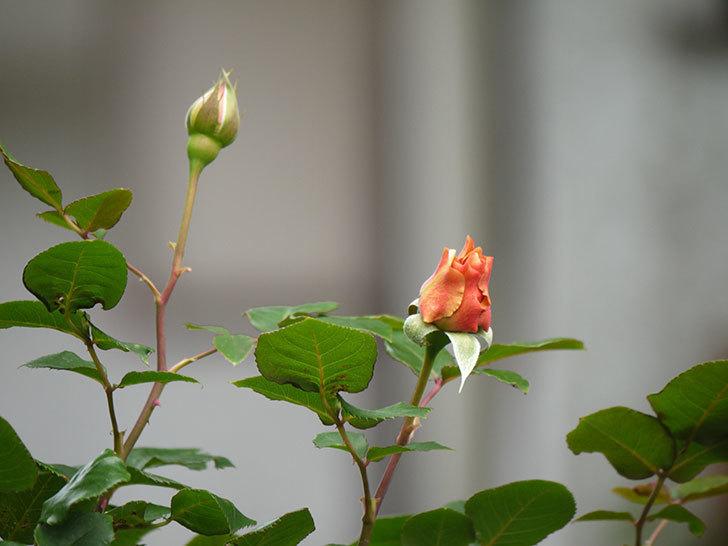 つるジュリア(ツルバラ)の花が少し咲いた。2018年-6.jpg