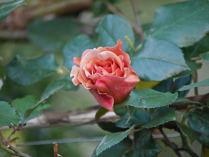 つるジュリア(ツルバラ)の花が少し咲いた。2020年-10.jpg