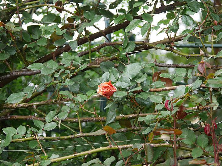 つるジュリア(ツルバラ)の花が少し咲いた。2020年-2.jpg