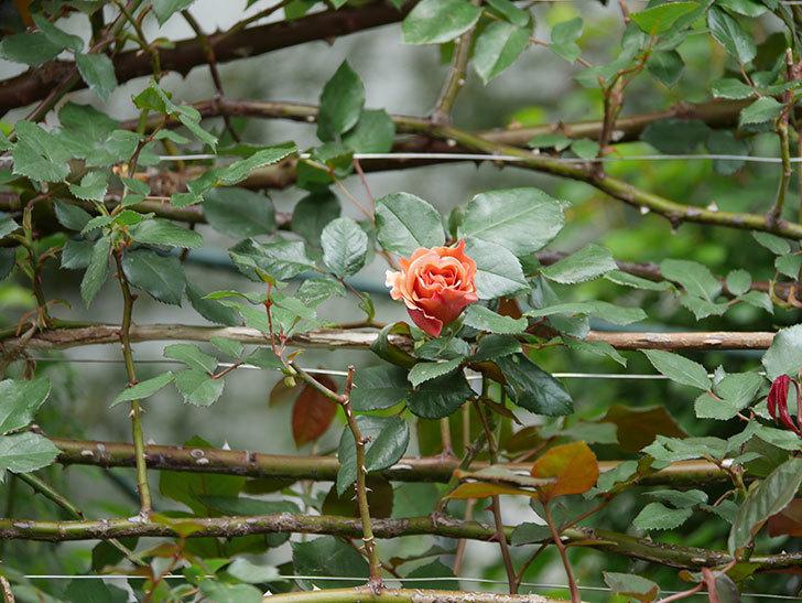 つるジュリア(ツルバラ)の花が少し咲いた。2020年-5.jpg