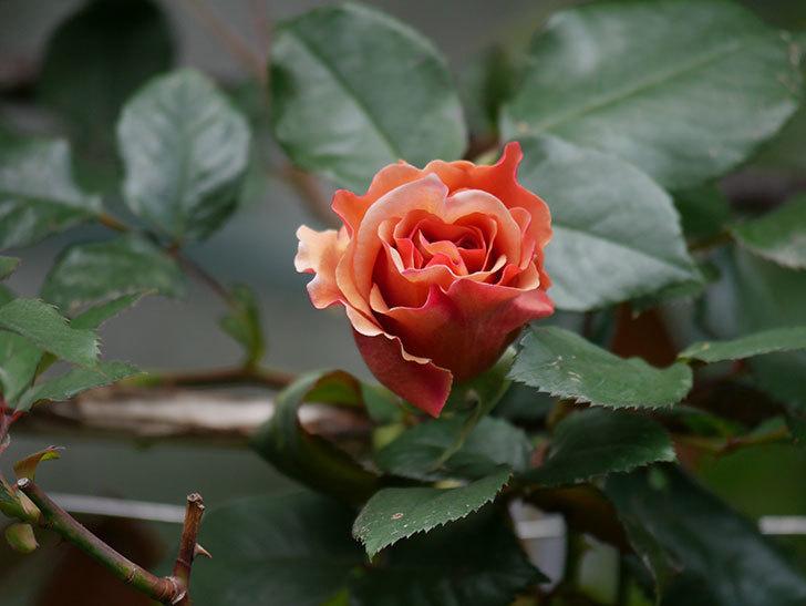 つるジュリア(ツルバラ)の花が少し咲いた。2020年-6.jpg