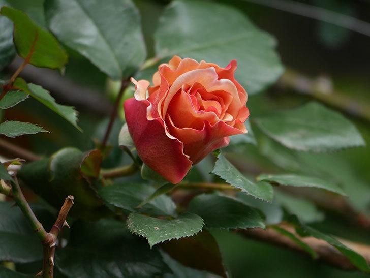 つるジュリア(ツルバラ)の花が少し咲いた。2020年-7.jpg