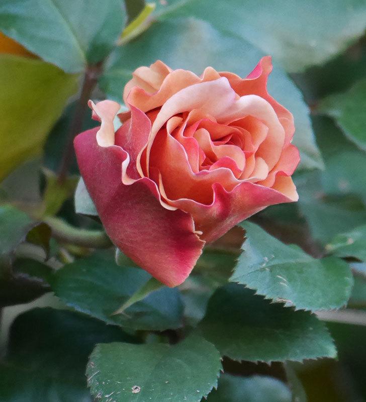 つるジュリア(ツルバラ)の花が少し咲いた。2020年-9.jpg