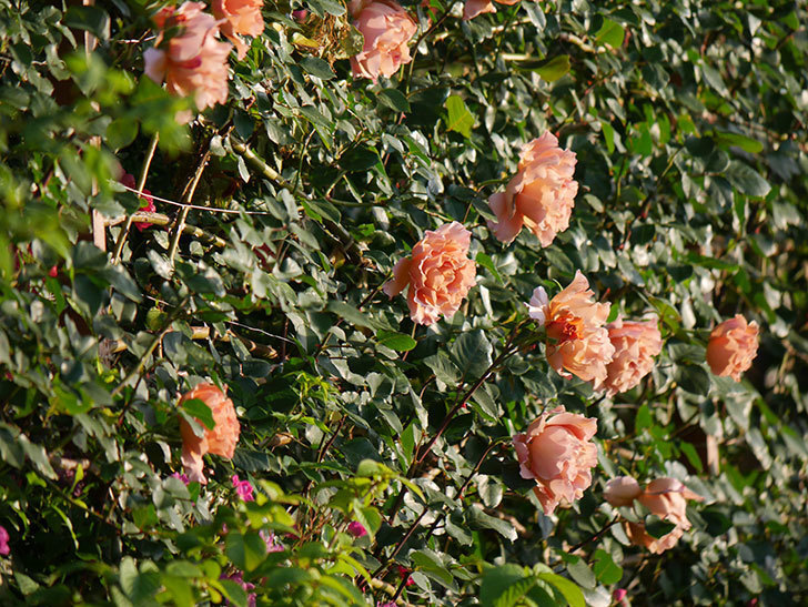 つるジュリア(ツルバラ)の花が満開になった。2020年-10.jpg