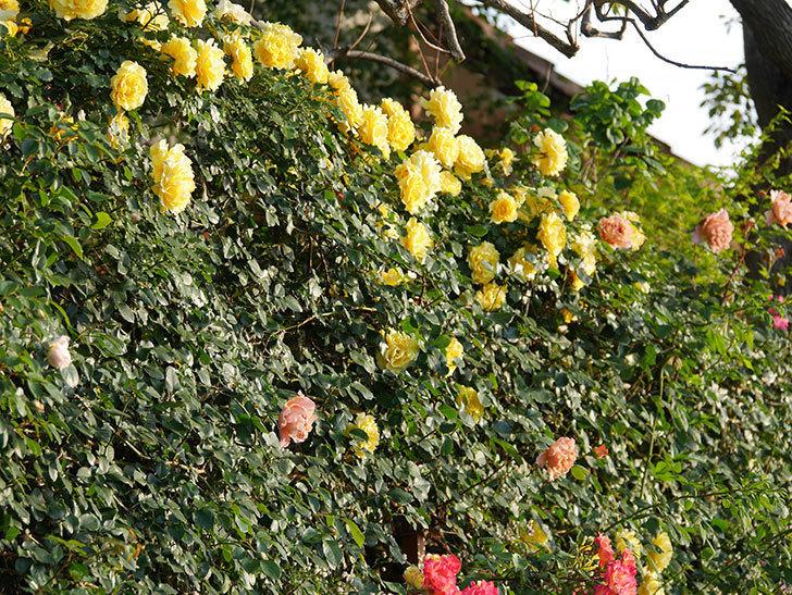 つるジュリア(ツルバラ)の花が満開になった。2020年-11.jpg