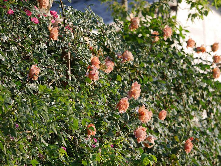 つるジュリア(ツルバラ)の花が満開になった。2020年-12.jpg