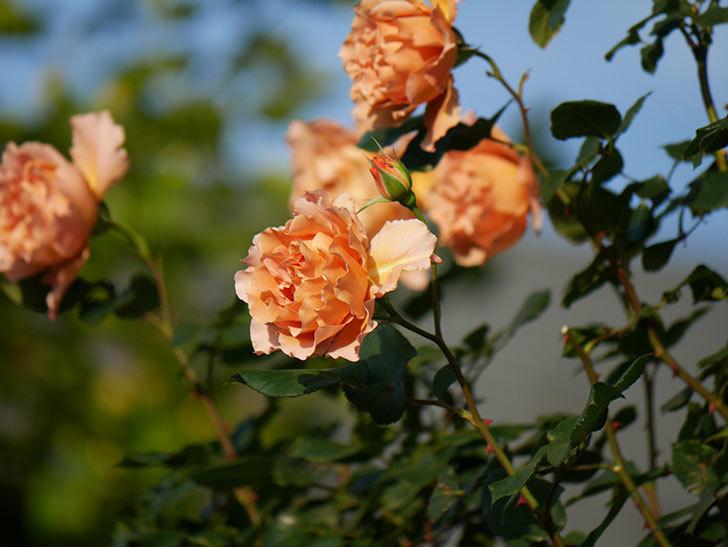 つるジュリア(ツルバラ)の花が満開になった。2020年-13.jpg