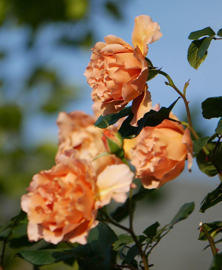つるジュリア(ツルバラ)の花が満開になった。2020年-14.jpg