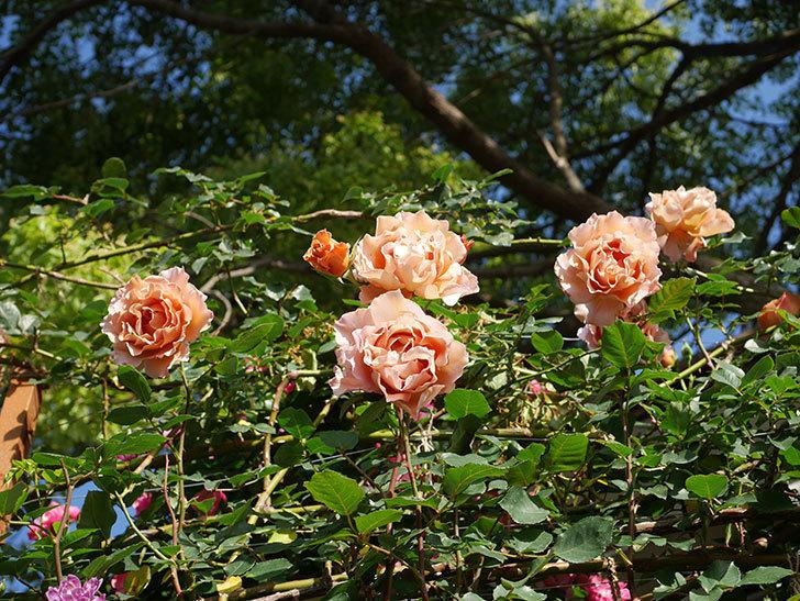 つるジュリア(ツルバラ)の花が満開になった。2020年-15.jpg
