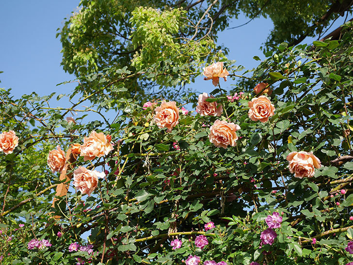 つるジュリア(ツルバラ)の花が満開になった。2020年-17.jpg