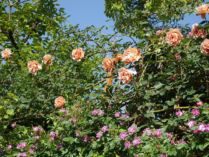 つるジュリア(ツルバラ)の花が満開になった。2020年-18.jpg