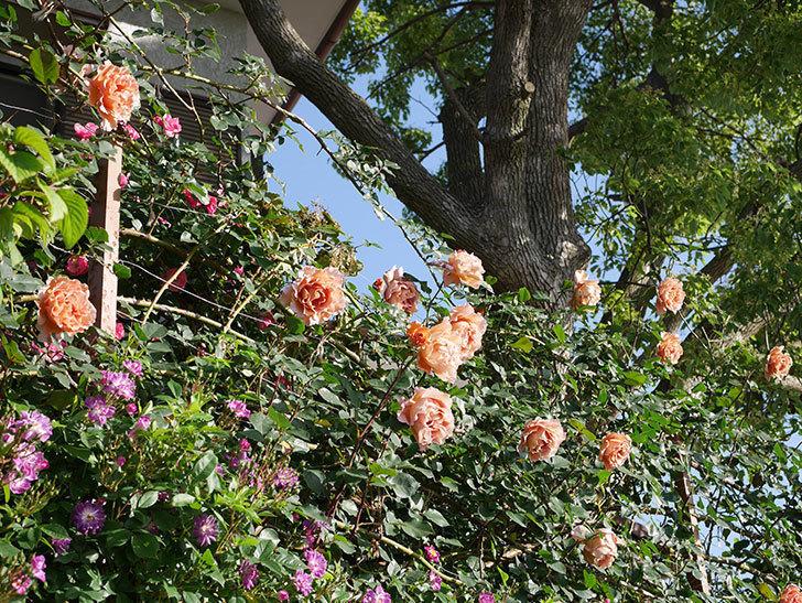 つるジュリア(ツルバラ)の花が満開になった。2020年-19.jpg