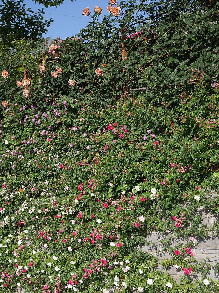 つるジュリア(ツルバラ)の花が満開になった。2020年-20.jpg