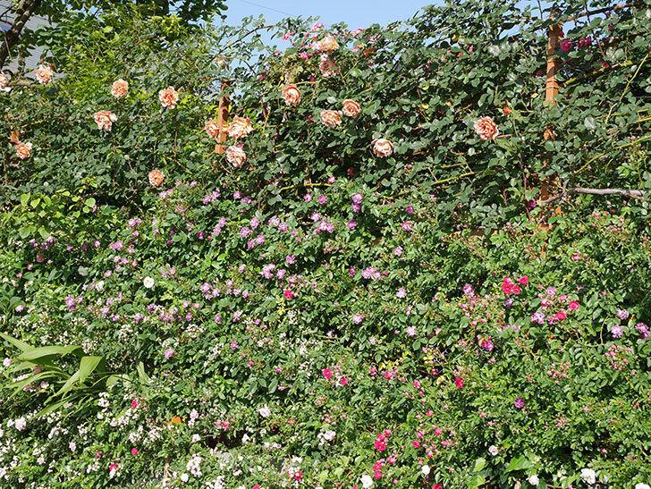 つるジュリア(ツルバラ)の花が満開になった。2020年-21.jpg