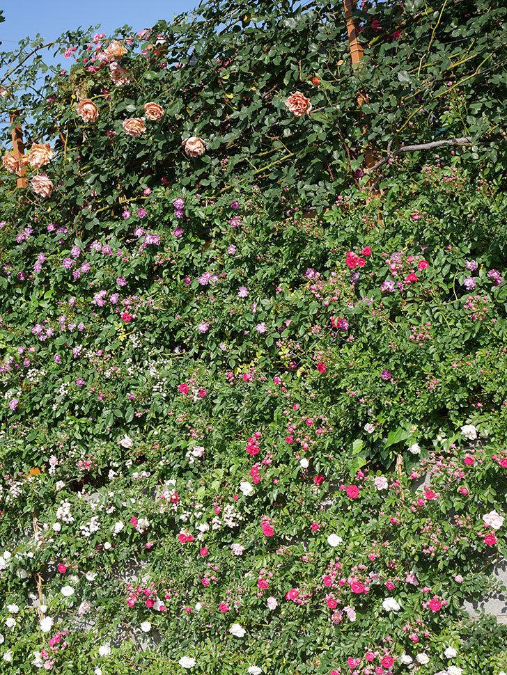 つるジュリア(ツルバラ)の花が満開になった。2020年-22.jpg