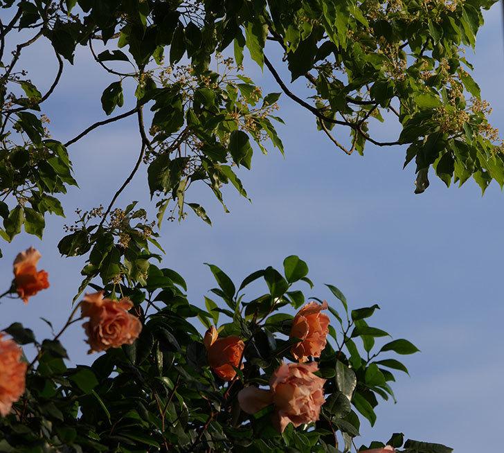 つるジュリア(ツルバラ)の花が満開になった。2020年-3.jpg