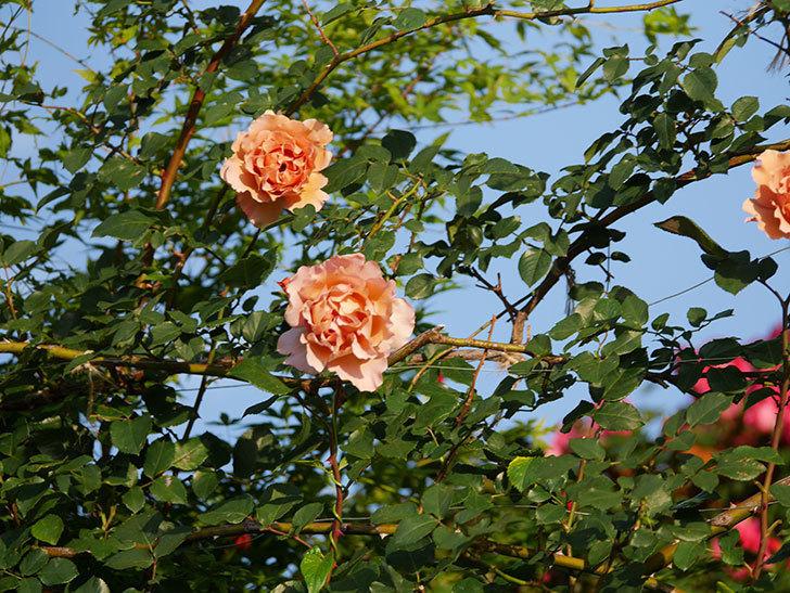 つるジュリア(ツルバラ)の花が満開になった。2020年-4.jpg