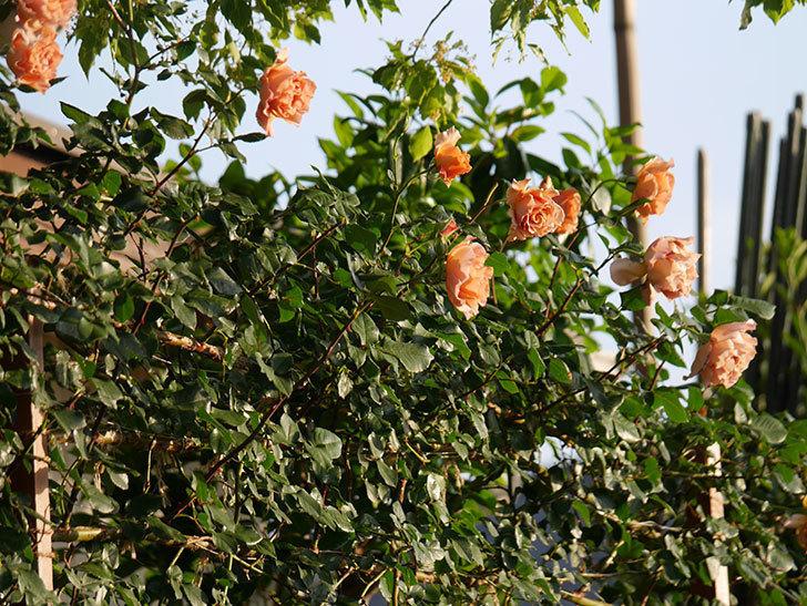 つるジュリア(ツルバラ)の花が満開になった。2020年-8.jpg