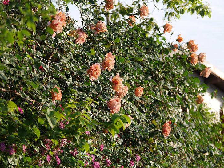 つるジュリア(ツルバラ)の花が満開になった。2020年-9.jpg