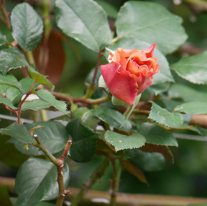 つるジュリア(ツルバラ)の花が開いて来た。2020年-3.jpg
