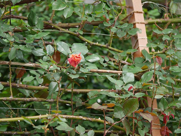 つるジュリア(ツルバラ)の花が開いて来た。2020年-4.jpg