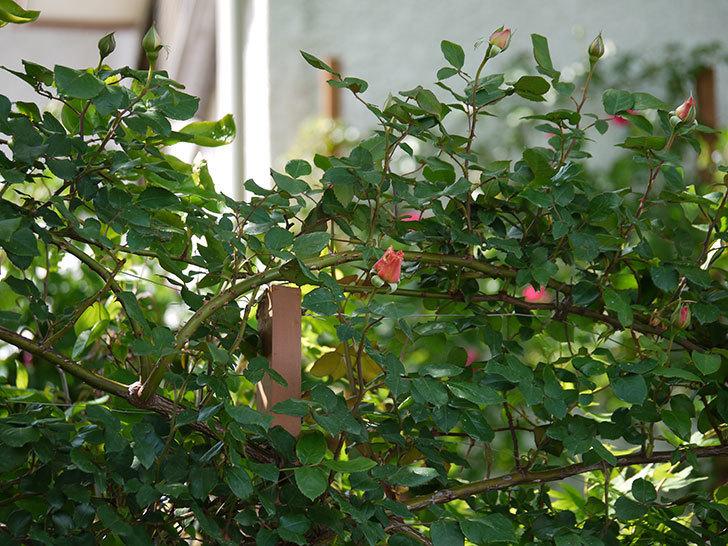 つるジュリア(ツルバラ)の蕾が色づいてきた。2018年-2.jpg