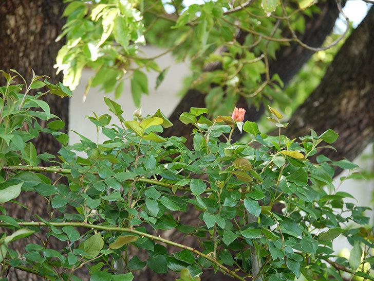 つるジュリア(ツルバラ)の蕾が色づいてきた。2018年-6.jpg