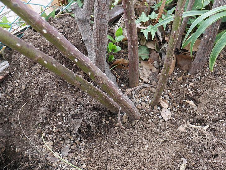 つるジュリア(Julia Climbing)に寒肥を施した。ツルバラ。2021年-004.jpg