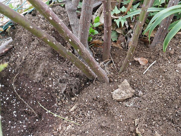 つるジュリア(Julia Climbing)に寒肥を施した。ツルバラ。2021年-011.jpg