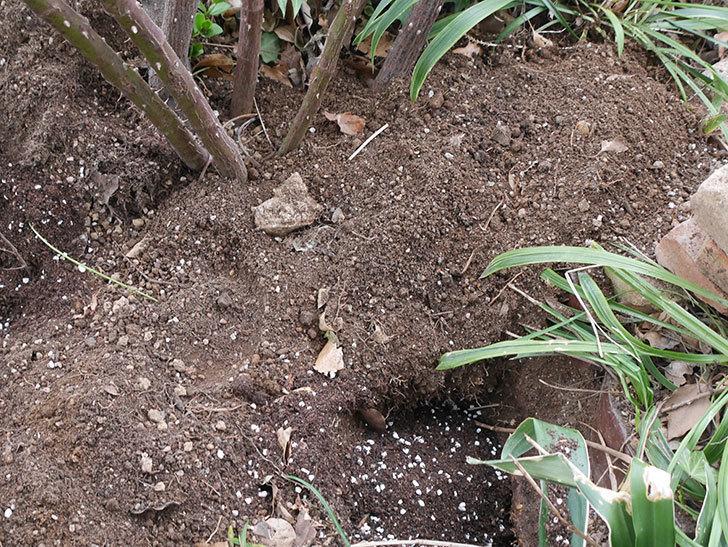 つるジュリア(Julia Climbing)に寒肥を施した。ツルバラ。2021年-014.jpg