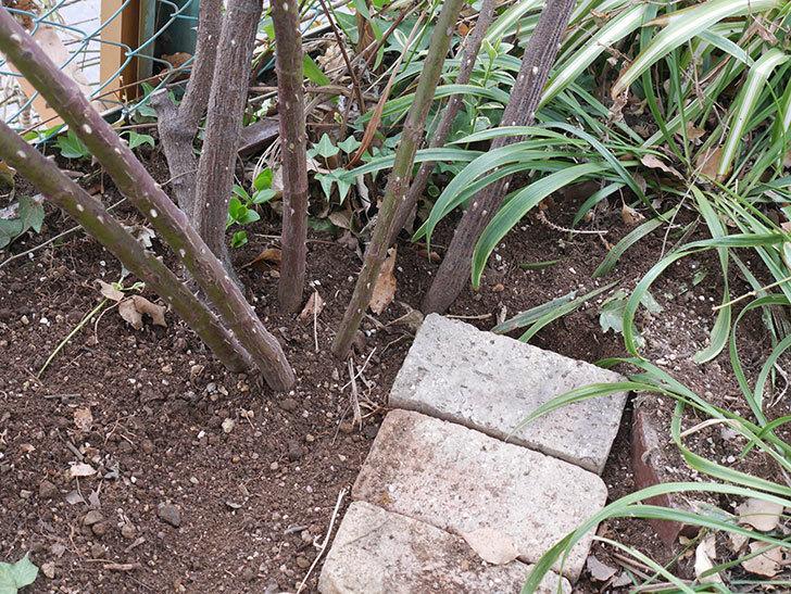 つるジュリア(Julia Climbing)に寒肥を施した。ツルバラ。2021年-016.jpg