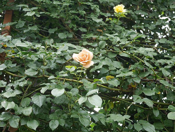 つるジュリア(Julia Climbing)の2番花がまた咲いた。ツルバラ。2020年-001.jpg