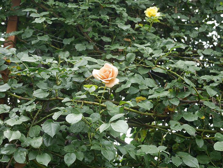 つるジュリア(Julia Climbing)の2番花がまた咲いた。ツルバラ。2020年-002.jpg