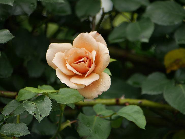 つるジュリア(Julia Climbing)の2番花がまた咲いた。ツルバラ。2020年-003.jpg
