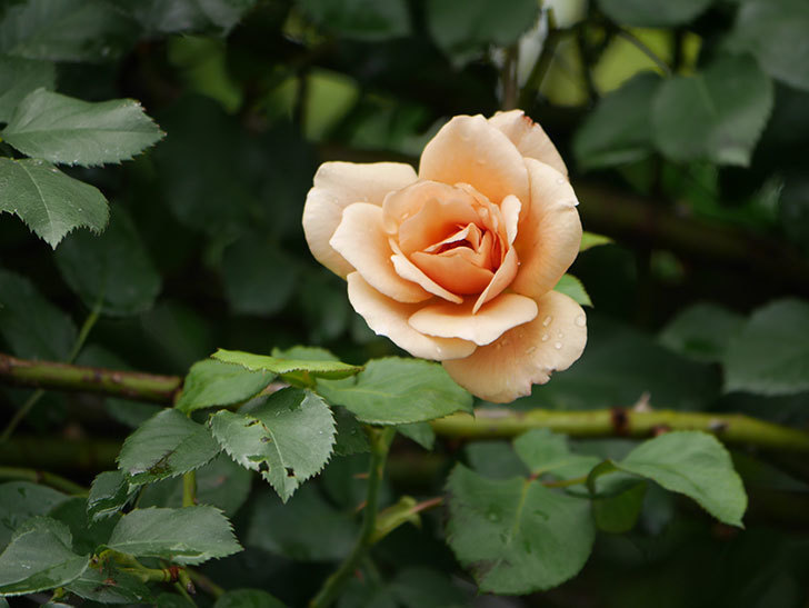 つるジュリア(Julia Climbing)の2番花がまた咲いた。ツルバラ。2020年-004.jpg